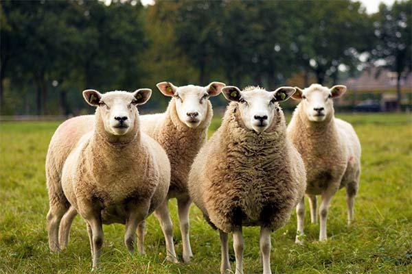 تعیبر خواب گوسفند