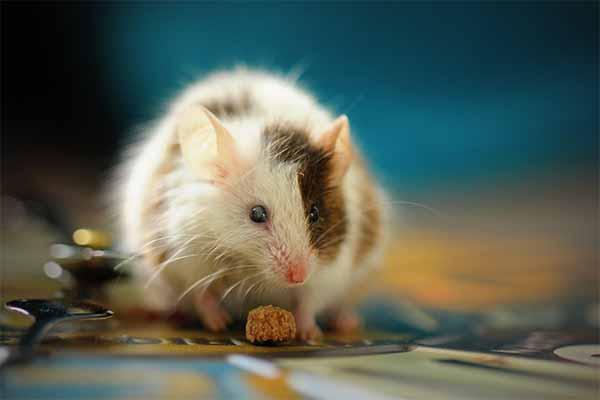 موش سفید