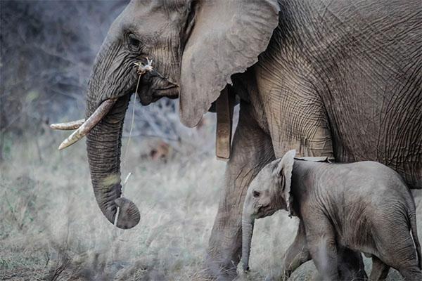 تعبیر خواب خرطوم فیل