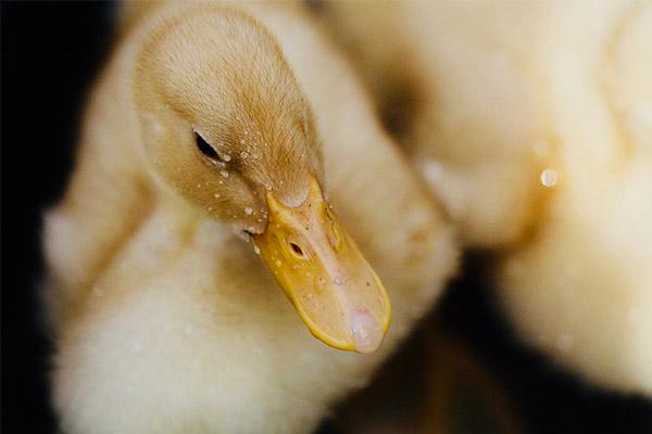 اردک سفید